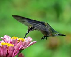 810_6343.Ruby-throated Hummingbird (laurie.mccarty) Tags: bird birdwatcher birdwatching bokeh flower garden nature naturephotography nikon nikond810 nikon80400mm rubythroatedhummingbird