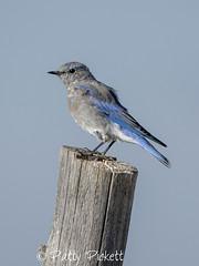 mountain bluebird (Pattys-photos) Tags: mountain bluebird idaho pattypickett4748gmailcom pattypickett