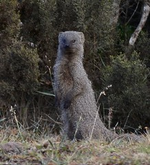 Small Grey Mongoose Gondwana DSC_5628 (peterleanranger) Tags: animal mammal mongoose gondwana gondwanagamereserve mosselbaai mosselbay africa southafrica galerella pulverulenta galerellapulverulenta herpestidae carnivora smallgreymongoose smallgraymongoose capegreymongoose capegraymongoose