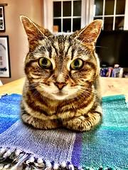 Miss Puss bread-loafing (_BuBBy_) Tags: miss puss breadloafing tabby cat bread loaf baby kitty feline short hair brown stripes pet