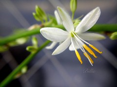 Macro fun.....Smooth and delicate spider plant flower. (gilberteplessers) Tags: