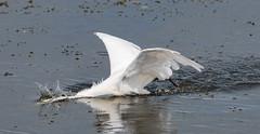 Little Egret (wryneck94) Tags: birdwatching somerset somersetlevels