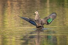 Pacific Black Duck (Beckett_1066) Tags: dam birds hawkesbury duck water pacificblackduck
