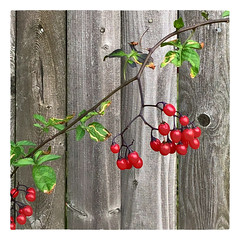 Berries (Timothy Valentine) Tags: large red berries friday 2019 0919 fence eastbridgewater massachusetts unitedstatesofamerica