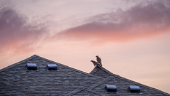 Red-shouldered hawks at Sunrise (Shiva Shenoy) Tags: backyard birds landscape redshoulderedhawk texas flowermound summer 2019 edgewood