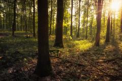 Die Sonne scheint in den Wald (Fotodesign Behrend) Tags: sonne sun wood wald tree bäume sunset natur landscape landschaften sony alpha 7r 16mm 35mm