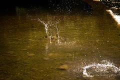 Ducks and Drakes (antonikarbowiak2) Tags: ducks drakes river summer france southern