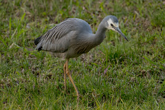 white faced heron (crispiks) Tags: white faced heron doctors point road albury new south wales nikon d500 70200 f28 birdlife
