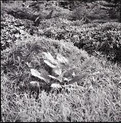 (✞bens▲n) Tags: hasselblad 500cm ilford 50 carl zeiss 80mm f28 film 6x6 blackandwhite grass plant panf