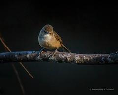 Reed-Warbler.. (Beckett_1066) Tags: dam birds hawkesbury australianreedwarbler warbler reeds water