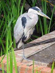 Heron - Victoria Quays, Leeds 2019 (Dave_Johnson) Tags: riveraire river aire leedsriver water heron bird narrowboat boat barge victoriaquays victoriaquay victoria quay quays wildlife
