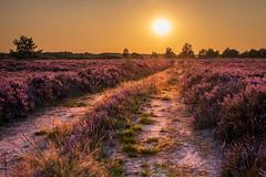 Sunset on the heathland. (hageephotography) Tags: maasmechelen mechelseheide heide sunset heather heathland limburg belgium vlaanderen landscape belgië