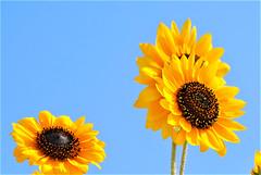 "Girasoli (wallace39 "" mud and glory "") Tags: girasole sunflower fiore flower cielo sky estate summer giallo yellow"