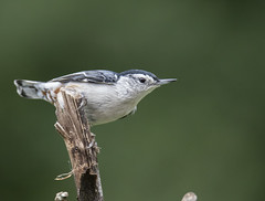 Nuthatch Belly (Yer Photo Xpression) Tags: ronmayhew nuthatch bird canon tamron nature