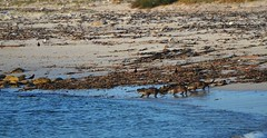African Clawless Otter (Aonyx capensis) (selinamochrie) Tags: southafrica africa capetown outdoors wildlife nature mammal otter clawless water ocean beach capepoint swimming cape