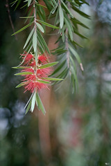 Hoa liễu rủ (Salix babylonica) (luongsangit58) Tags: fujifilm fuji fujifilmxt10 hoa flower minolta plant bokeh salix