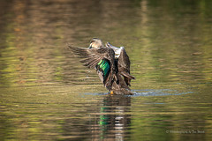 Pacific Black Duck (Beckett_1066) Tags: dam birds hawkesbury duck pacificblackduck water