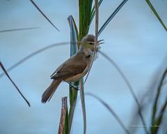 Reed-Warbler... (Beckett_1066) Tags: dam birds hawkesbury water australianreedwarbler warbler reeds
