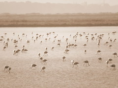 IMG_0009y (gzammarchi) Tags: italia paesaggio natura ferrara lidodispina parcodeltadelpo oasi vallesina lago animale fenicottero stormo sepia