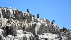 Seabird Colonies - Farne Islands (littlestschnauzer) Tags: seabird colony colonies nesting birds farne islands coastal sea uk northeast north 2019 summer