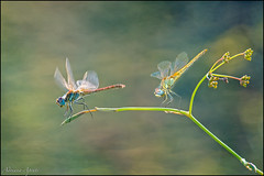 Libellule (adrianaaprati) Tags: dragonflies september macro libellule