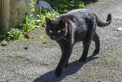 St Eulilie d'Olt Cat (thegrolffalo) Tags: cat sainteeulaliedolt aveyron france domesticanimal feline pet black