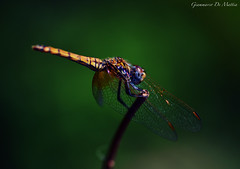 Golden Dragonfly (giamma.demattia) Tags: macro animal dragonfly photography amazing shades green insect tokina nikon apsc golden yellow wings eyes wood nature milan italy italian europe european south