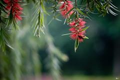 Hoa liễu rủ (Salix babylonica) (luongsangit58) Tags: fujifilm fuji fujifilmxt10 hoa flower minolta plant bokeh salix bee