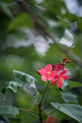 Hoa hồng mai (Jatropha integerrima) (luongsangit58) Tags: fujifilm fuji fujifilmxt10 hoa flower minolta plant bokeh jatropha