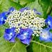 #アジサイ #紫陽花 #花 #flower #HydrangeaMacrophylla #hydrangea #Gartenhortensie #수국 #绣球