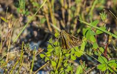 Sachem (Atalopedes campestris) (Austin H.) Tags: skipper lepidoptera