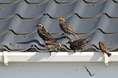 Starlings-7D2_6935-001 (cherrytree54) Tags: canon7dmkii sigma 150600 starling sparrow