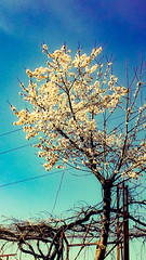 Flowering tree (Nabel Grant) Tags: nature beautiful pretty spring flowers flowerstagram