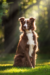 Picture of the Day (Keshet Kennels & Rescue) Tags: adoption dog dogs canine ottawa ontario canada keshet large breed animal animals kennel rescue pet pets field nature summer photography light rays fall autumn sit pose regal soft beautiful posture