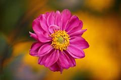Praecox Windflower (lfeng1014) Tags: japaneseanemone anemone flower flowermacro macro macrophotography closeup bokeh canon5dmarkiii ef100mmf28lmacroisusm depthoffield dof vividcolours bloom light lifeng praecoxwindflower