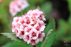 假繡線菊  Formosan Spiraea (~金玉~ Y.C.CHEN) Tags: canon color colorful flower nature light beautiful bokeh plant red white green marco outside outdoor