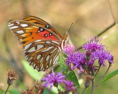 Gulf fritillary in purple ironweed (Vicki's Nature) Tags: gulffritillary orange butterfly wings purple ironweed wildflowers vickisnature biello georgia canon s5 1639 return