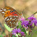 Gulf fritillary in purple ironweed