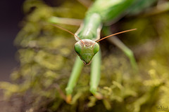 The Alien (TJN19) Tags: macrophotgraphy prayingmantis insect