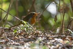 robin (madziulka_a) Tags: robin poland nature nikon d850 nikkor 200500mm wildlife photography rudzik bird
