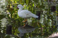 White mandarin duck (madziulka_a) Tags: mandarinduck mandarynka poland nikon d850 nikkor 200500mm photography nature wildlife white
