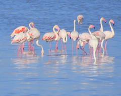 IMG_0021y (gzammarchi) Tags: italia paesaggio natura ferrara lidodispina parcodeltadelpo oasi vallesina lago animale fenicottero stormo