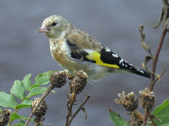 Goldfinch, River Esk at Longtown, 13 September 19 (1 of 2) (gillean55) Tags: canon powershot sx60 hs superzoom bridge camera north cumbria longtown riveresk goldfinch cardueliscarduelis juvenile