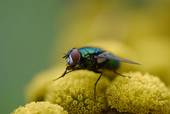 Macro (steffos1986) Tags: nature macro closeup bokeh insect fly flower flora flowers green yellow red beautiful nikond80 tamron60mmf2macro countryside autumn dslr outdoor outside fineart art portrait light sun