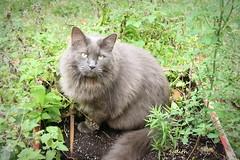 Mr. Vin (Judecat (Sand between my toes )) Tags: cat feline longhairedgreycat vinny catinthegarden