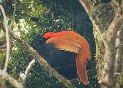Crested Satinbird. Cnemophilus macgregorii (gailhampshire) Tags: crested satinbird cnemophilus macgregorii taxonomy:binomial=cnemophilusmacgregorii papua new guinea