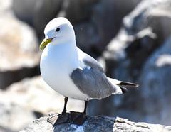 Trip to the Farne Islands - Kittiwake (littlestschnauzer) Tags: farne islands seabirds seabird bird north sea nature coast uk summer 2019 wildlife kittiwake