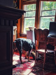 When you catch your dog and cat playing together (SScheel) Tags: dobie doberman dobermanpinscher tabby cat brown bungalow pets playing autumn sunshine