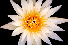 Water Lily at LP 3-0 F LR 9-11-19 J185 (sunspotimages) Tags: flower flowers lily lilies waterlily waterlilies nature white whiteflower whiteflowers whitelily whitelilies whitewaterlily whitewaterlilies