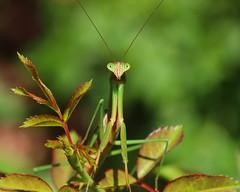 Chinese mantis (Tenodera sinensis) (phl_with_a_camera1) Tags: chinese mantis tenodera sinensis macro closeup